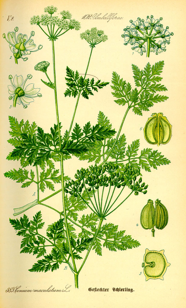 Illustration Conium maculatum (source Wikipedia)